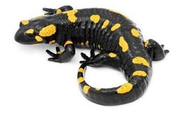 S_salamandra1
