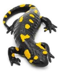 S_salamandra3