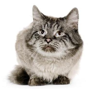 anemia infettiva felina
