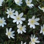 anemone_nemorosa4