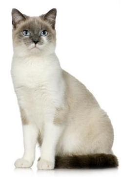 asma felino