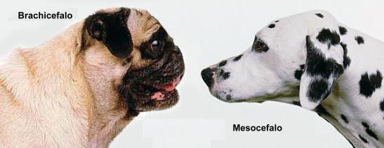 Confronto tra la struttura del muso di un cane brachicefalo e uno con conformazione standard (detta mesocefala)