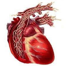 Rappresentazione schematica delle filarie nel cuore