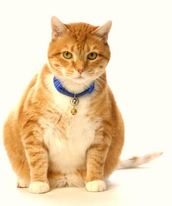 gatto diabete 1