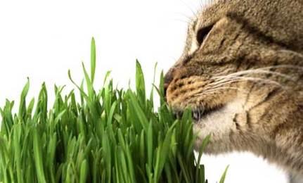 gatto erba