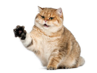 malattia graffio gatto 1