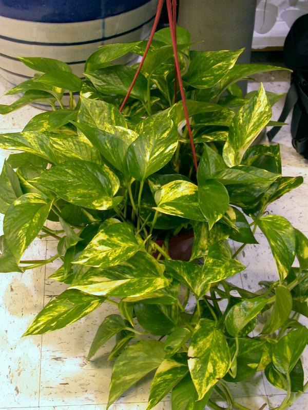 Le piante tossiche pi pericolose per i gatti for Piante velenose per i gatti