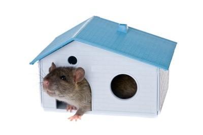 ratto 2