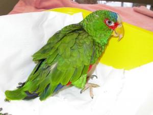 Piumaggio in cattive condizioni in un'amazzone con malnutrizione cronica (alimentazione a soli semi)