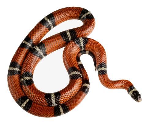 serpente7