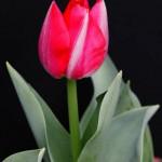tulipano2