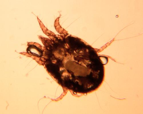 Psoroptes cuniculi, osservato al microscopio