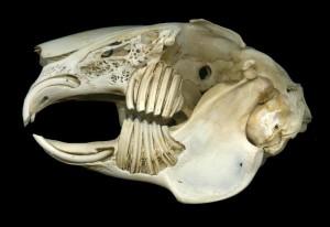 Preparato anatomico che mostra i denti in tutta la loro lunghezza