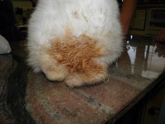 L'urina viene assorbita dal pelo e la lesione può quindi espandersi.
