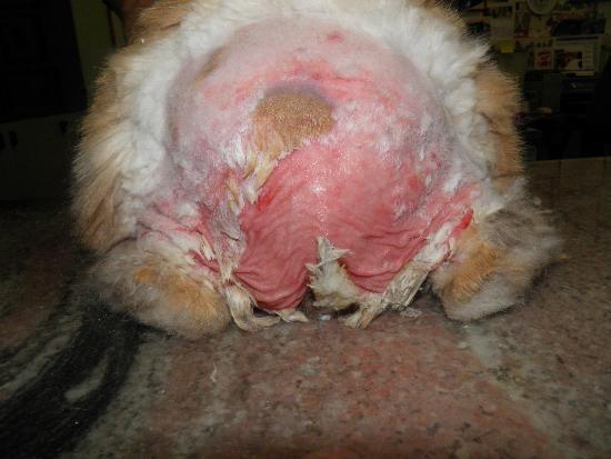 Dermatite perineale: estesa lesione cutanea dopo che la parte è stata rasata