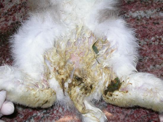 Diarrea in un coniglietto