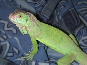 Iguana normale. I sauri normali si sostengono sugli arti anteriori tenendo il torace ben sollevato.