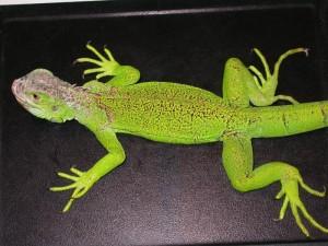 Giovane iguana con MOM. Questa iguana è incapace di reggersi sugli arti a causa dell'ipocalcemia
