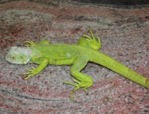 Giovane iguana con grave MOM. La grave ipocalcemia causa una paralisi completa