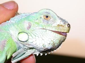 Giovane iguana con grave MOM. Questa iguana presenta una forte deformazione delle mandibole a causa della loro decalcificazione