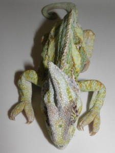 Camaleonte con MOM. Nei camaleonti caliptrati la decalcificazione può riguardare il casco che appare deformato