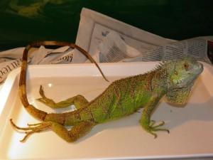 Iguana con frattura della colonna vertebrale. La MOM può portare alla frattura della colonna vertebrale. Se anche poi il rettile guarisce dalla MOM, la paralisi permane