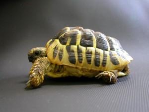 Testudo hermanni con MOM. Nelle giovani tartarughe la MOM causa la deformazione della corazza