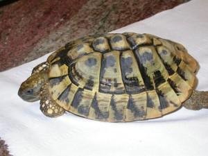 T. hermanni con grave MOM. La corazza è fortemente appiattita e tenera.