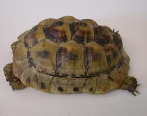 T. graeca con MOM. Tipica crescita deforme in una giovane tartaruga greca