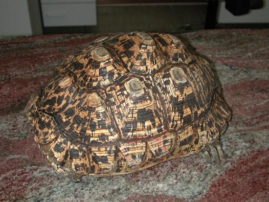 In Geochelone pardalis la forma piramidale degli scuti può essere normale