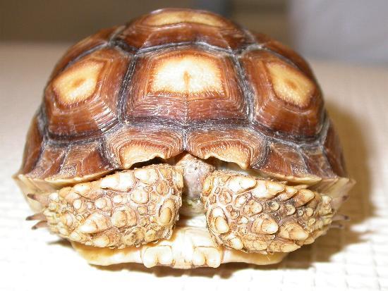 G. sulcata di pochi mesi, allevata in cattività, che mostra i primi segni di crescita piramidale degli scuti.