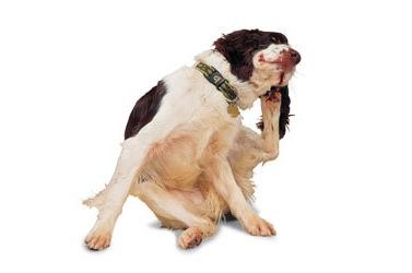 segni e sintomi di infezione da lievito per cani